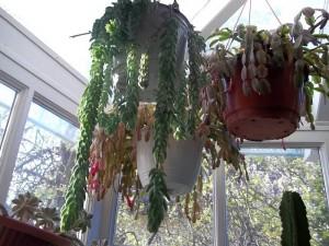 Télikert üvegház, karácsonyi kaktusz